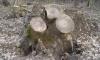 На Сумщине снова обнаружили незаконную порубку деревьев на заповедной территории